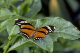 Consul fabius / Tiger Leafwing (Consul fabius)