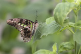 Porte-queue geai / Tailed Jay (Graphium agamemnon)