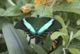 Machaon émeraude / Banded Peacock (Papilio palinurus)