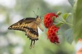 Porte-queue thoas / Thoas Swallowtail (Papilio thoas)