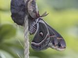 Saturnie cécropia / Cecropia Silkworm (Hyalophora cecropia)