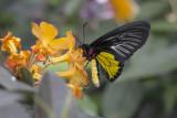 Troides rhadamanthus / Golden Birdwing (Troides rhadamantus)