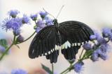 Voilier mormon / Common Mormon (Papilio polytes)