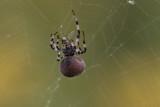 Araignées - Spider