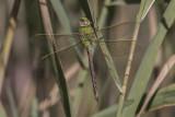 Libellules - Dragonflies