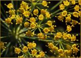 Flowering Dill