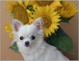 Bailey & 2017 Sunflowers