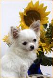 Bailey& the Sunflowers