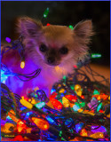 The Twelve Days of Chihuahua Christmas