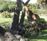 Giraffe hiding.