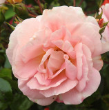 A red rose that turns pink.j