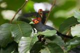 Rough-Crested Malkoha (Phaenicophaeus superciliosus)