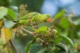 Blue-naped Parrot (Tanygnathus lucionensis)