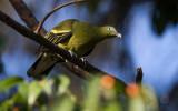 Philippine Green Pigeon (Treron axillaris)
