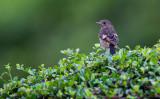 Pied Bushchat (juv/male) (Saxicola caprata)
