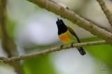 Sunbird, Flaming (Aethopyga flagrans)