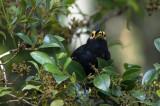 Myna, Apo (Basilornis miranda)