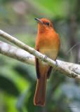 Flycatcher, Rufous Paradise (Terpsiphone cinnamomea)