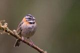 rufous-collared sparrow(Zonotrichia capensis)