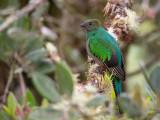 resplendent quetzal(Pharomachrus mocinno)
