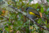 black-and-yellow phainoptila(Phainoptila melanoxantha)
