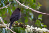 sooty thrush(Turdus nigrescens)