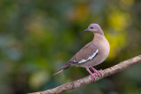 white-winged dove(Zenaida asiatica)</i)