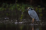yellow-crowned night heron(Nyctanassa violacea)