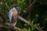 boat-billed heron(Cochlearius cochlearius)