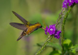 black-crested coquette(Lophornis helenae)