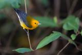 prothonotary warbler(Protonotaria citrea)