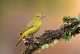 summer tanager (f.)(Piranga rubra)