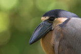 boat-billed-heron(Cochlearius cochlearius)