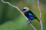 golden-hooded tanager(Tangara larvata)