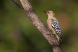 hoffmann's woodpecker(Melanerpes hoffmannii)