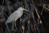 bare-throated tiger heron(Tigrisoma mexicanum)