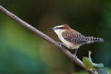 rufous-backed wren