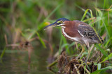green heron(Butorides virescens)