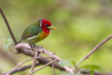 red-headed barbet(Eubucco bourcierii)