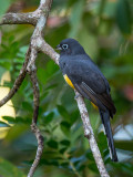 black-headed trogon(Trogon melanocephalus)