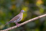 white-winged dove(Zenaida asiatica)
