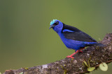 red-legged honeycreeper(Cyanerpes cyaneus)