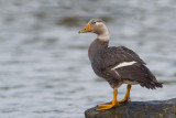 Flying Steamer-Duck (Tachyeres patachonicus)