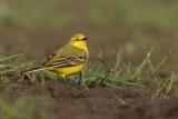 Shropshire Birds.