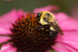 Eastern Bumblebee