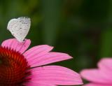 Summer Azure Butterfly 2