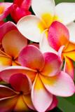 pink-frangipani reversed.jpg
