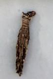 Metura elongatus bagworm in cocoon