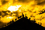 Silhouette of Australian white pelicans sitting on roof