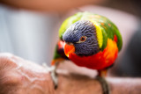 Rainbow lorikeet subspecies unknown